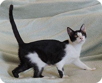 Domestic Shorthair Cat for adoption in Plano, Texas - AURORA - SURVIVOR KITTY