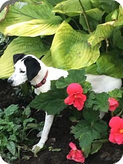 Rat Terrier Mix Puppy for adoption in Avon, New York - Anna