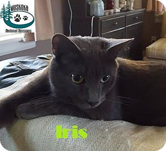 Domestic Shorthair Cat for adoption in Huntsville, Ontario - Iris - Adopted January 2017