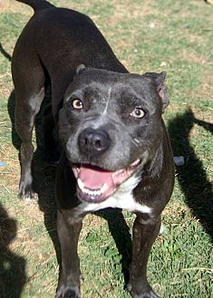 American Staffordshire Terrier/American Pit Bull Terrier Mix Dog for adoption in Phoenix, Arizona - Cita