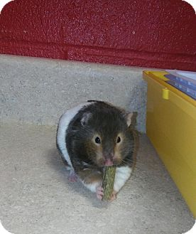 Hamster for adoption in Elyria, Ohio - Bernie