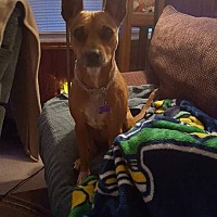 American Pit Bull Terrier Mix Dog for adoption in Evansville, Indiana - Willow