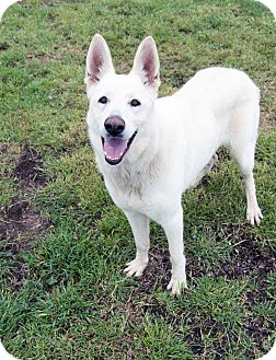 German Shepherd Dog Mix Dog for adoption in Walnut Creek, California - Snowball