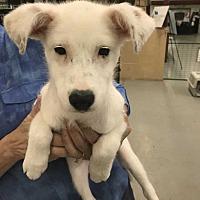Adopt A Pet :: Shana - Mooresville, NC