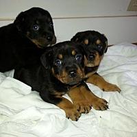 Adopt A Pet :: 3 Black females - Seaford, DE