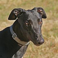 Adopt A Pet :: Bruno - Portland, OR
