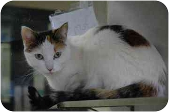 Domestic Shorthair Cat for adoption in Walker, Michigan - Fern
