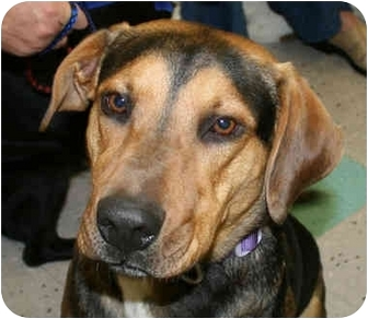 Black and Tan Coonhound/Rottweiler Mix Dog for adoption in Marion, Arkansas - Johnny