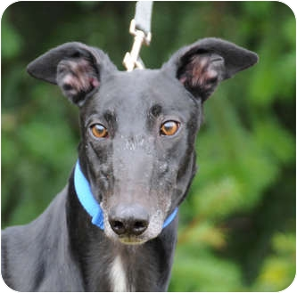 Greyhound Dog for adoption in Portland, Oregon - Davie