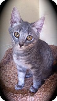 Domestic Shorthair Kitten for adoption in Brea, California - Athena