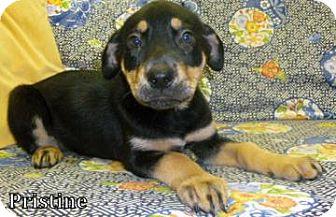 Shepherd (Unknown Type)/Labrador Retriever Mix Puppy for adoption in Georgetown, South Carolina - Pristine