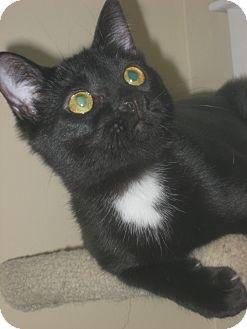 Domestic Shorthair Kitten for adoption in Beaufort, South Carolina - Jill