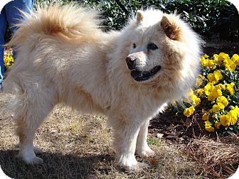 Chow Chow Dog for adoption in Tucker, Georgia - Abbey