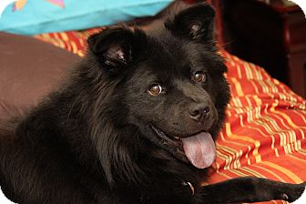 Spitz (Unknown Type, Medium)/Chow Chow Mix Dog for adoption in Jersey City, New Jersey - Astro Jetson