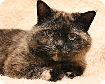 Persian Cat for adoption in Bellingham, Washington - Reese