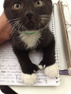 Hemingway/Polydactyl Kitten for adoption in Byron Center, Michigan - Alejandro