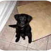 Adopt A Pet :: Desperada - Scottsdale, AZ