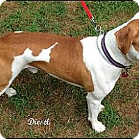 Adopt A Pet :: Diesel - Darlington, MD