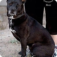 Labrador Retriever/Shepherd (Unknown Type) Mix Dog for adoption in Chandler, Arizona - MISSY