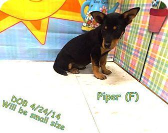 Corgi Mix Puppy for adoption in New Oxford, Pennsylvania - Piper