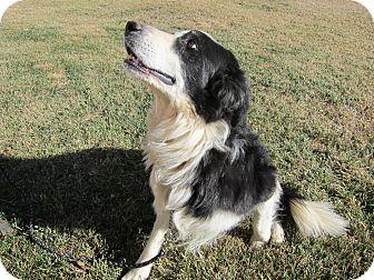 Border Collie Mix Dog for adoption in Denver, Colorado - Spencer