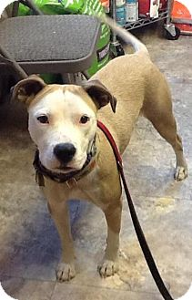 Pit Bull Terrier Mix Dog for adoption in Madras, Oregon - Nizhoni