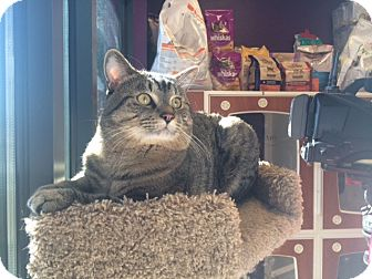 Domestic Mediumhair Cat for adoption in Meridian, Idaho - Louie