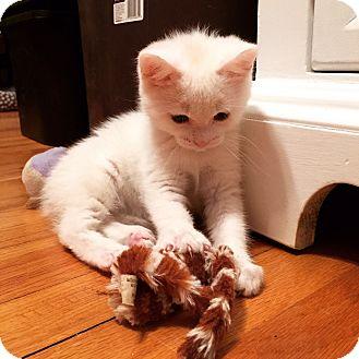 Domestic Shorthair Kitten for adoption in Rochester Hills, Michigan - Blossom