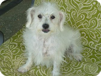 Maltese/Poodle (Miniature) Mix Dog for adoption in Beverly Hills, California - Gemma Atkinson