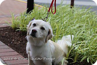 Dachshund/Pug Mix Dog for adoption in Manassas, Virginia - Annie