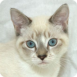 Siamese Cat for adoption in Sacramento, California - Karl V