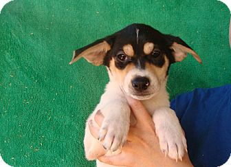Jack Russell Terrier/Rat Terrier Mix Puppy for adoption in Oviedo, Florida - Kato