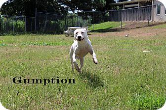 Dogo Argentino Dog for adoption in Texarkana, Arkansas - Gumption