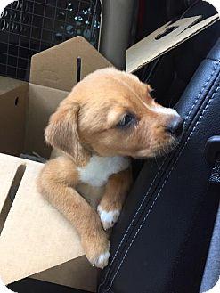 Golden Retriever/Australian Shepherd Mix Puppy for adoption in Beaumont, Texas - Little Foot