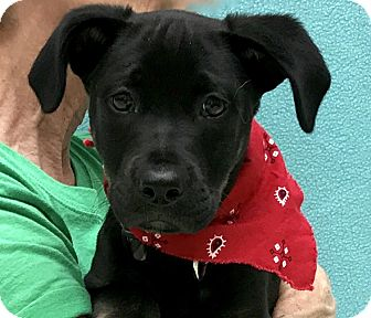 Labrador Retriever/Border Collie Mix Puppy for adoption in Evansville, Indiana - Chief