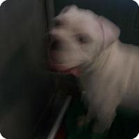 American Bulldog Dog for adoption in Oakland, California - Ghost