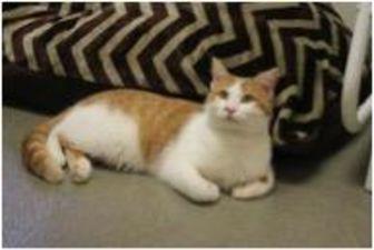 Domestic Shorthair/Domestic Shorthair Mix Cat for adoption in Fairfax Station, Virginia - Mario
