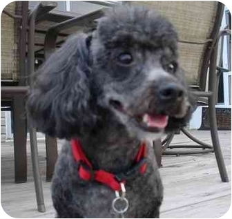 Miniature Poodle Mix Dog for adoption in Melbourne, Florida - SCOOBY