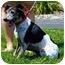 Photo 1 - Italian Greyhound Mix Dog for adoption in Batavia, Ohio - Racer