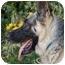 Photo 2 - German Shepherd Dog Dog for adoption in Los Angeles, California - Goliath von Guttenburg