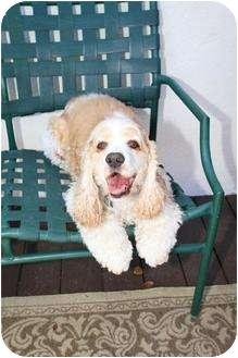 Cocker Spaniel Dog for adoption in Santa Barbara, California - Rosco