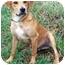 Photo 1 - Retriever (Unknown Type) Mix Dog for adoption in Sullivan, Missouri - Roy