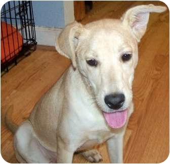 Labrador Retriever Mix Dog for adoption in Detroit, Michigan - Chesna