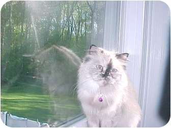 Himalayan Cat for adoption in Plymouth, Massachusetts - ***URGENT*** Kattie