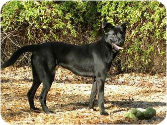 Labrador Retriever/Shepherd (Unknown Type) Mix Dog for adoption in Norwich, Connecticut - PRISCILLA