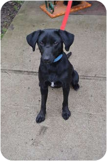 Labrador Retriever Mix Dog for adoption in Lewisville, Indiana - Fawn