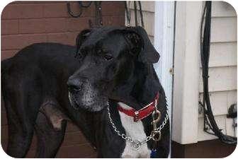 Great Dane Dog for adoption in Baden, Pennsylvania - Maxwell