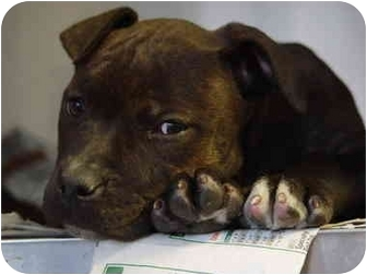 American Pit Bull Terrier Puppy for adoption in Mason City, Iowa - Roxie