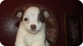 Chihuahua Mix Puppy for adoption in Palm Harbor, Florida - Ivie