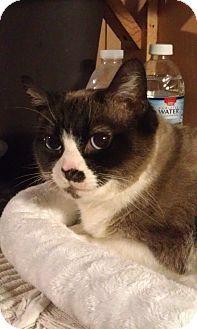 Snowshoe Cat for adoption in Cleveland, Ohio - Diamond